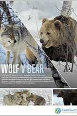Волк против медведя